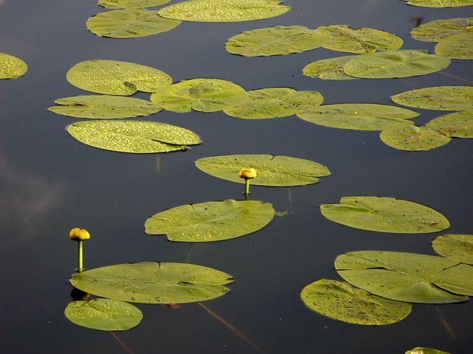 Gelbe Teichrose