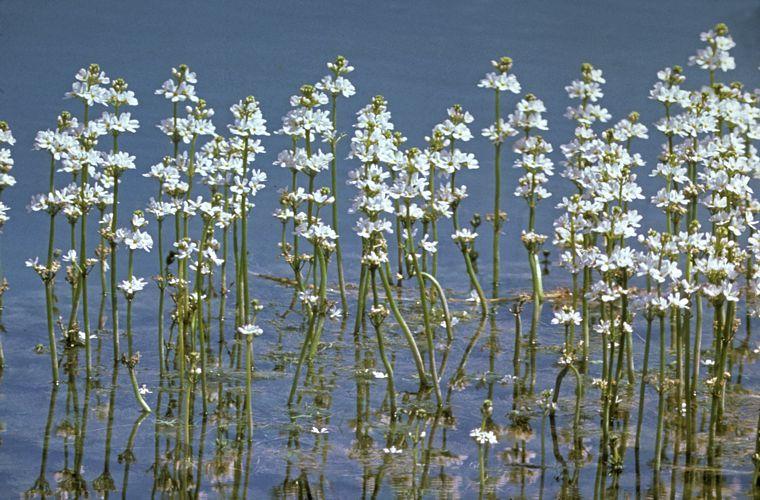 Blühende Wasserfeder