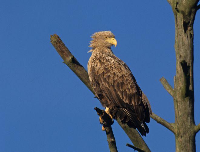 Seeadler, Altvogel