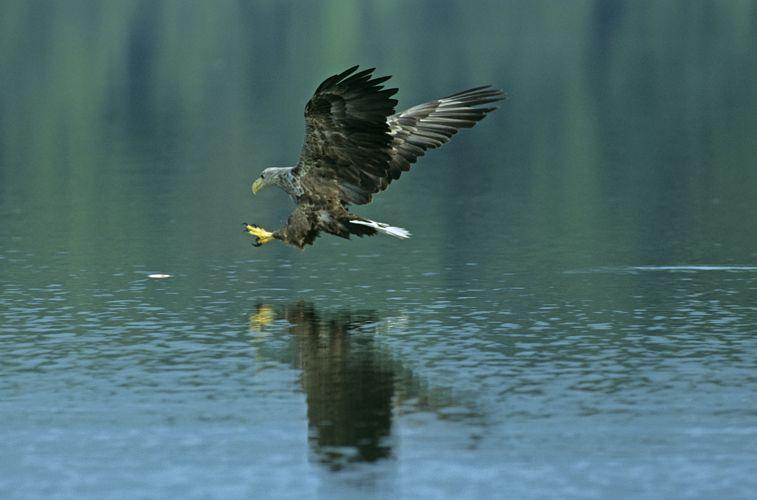 Seeadler bei der Jagd