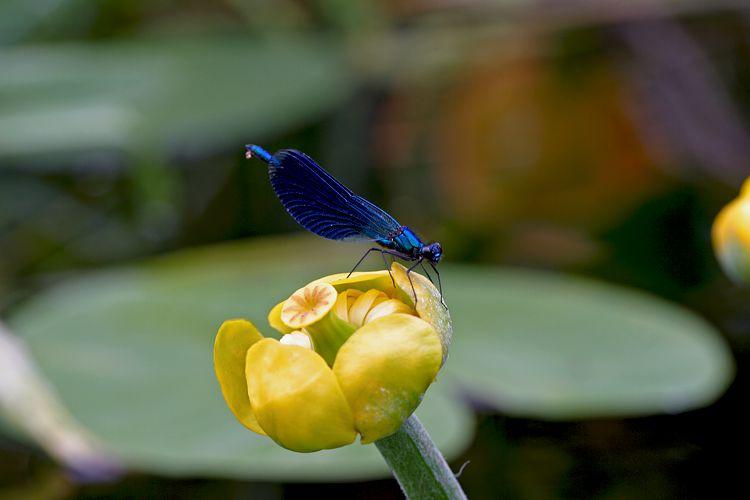 Gelbe Teichrose mit Gebänderter Prachtlibelle Männchen